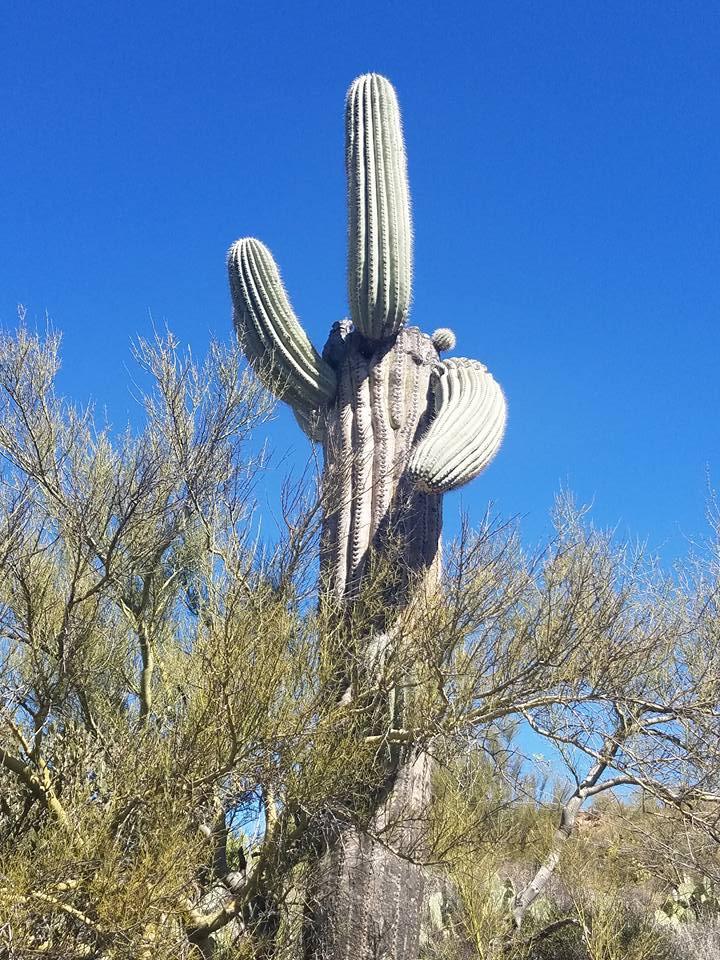 running saguaro
